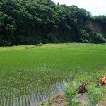 里川沿いの狭い土地をフルに活用して豊かな水田がいっぱい