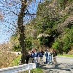 日鉱記念館前から36号線をウオーク。御大典のさくら前で休息