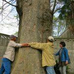 岡田記念館 巨木の幹回りを測定中?
