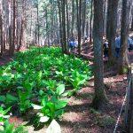 カタクリ山公園散策 水芭蕉も過ぎていた